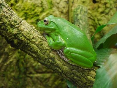 knallgrüner Frosch