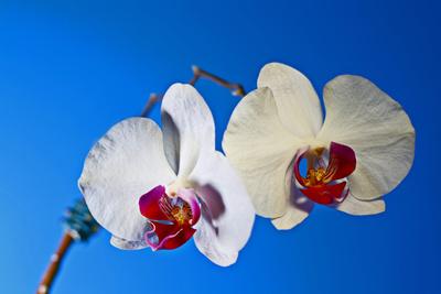 Weisse Orchidee