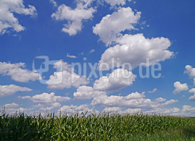 Maisfeld unterm Sommerhimmel