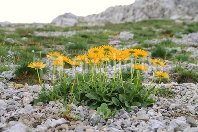 Alpen-Greiskraut