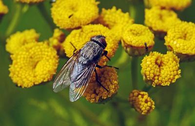 Große Fliege auf Rainfarn