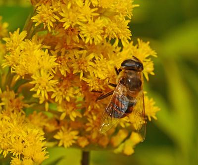 Honigbiene an kleinen Wildblüten