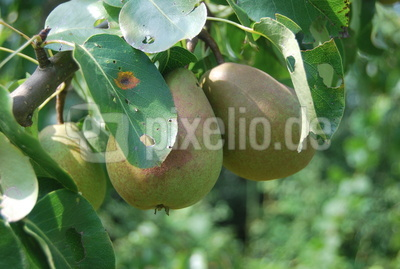 Birnbaum im Spätsommer