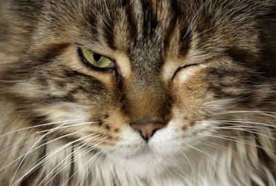 Main Coone Katze zwinkert