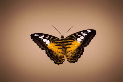 Brauner Segler (Parthenos sylvia)