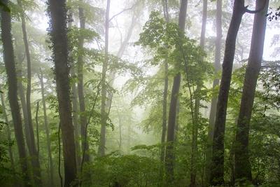 Laubwald im Morgennebel