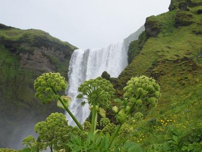 Engelwurz auf Island