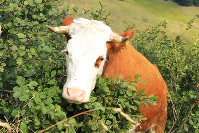 """Eine Kuh """"bricht"""" durch`s Gebüsch...01"""