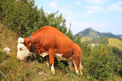 """Eine Kuh """"bricht"""" durch`s Gebüsch...05"""