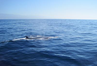 Wal im Atlantik