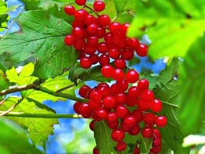 Rote Herbstbeeren