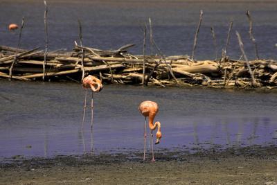 Flamingos in Freiheit
