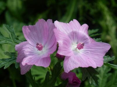 Lila Zwillingsblüten