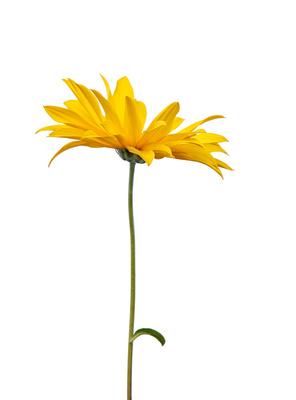 Die gelbe Gerbera