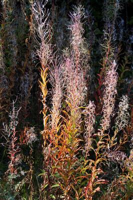 Herbstliche Weidenröschen