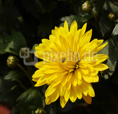 Gelbe Chrysanthemenblüte