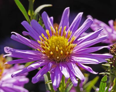 Lila Asternblüte im Gegenlicht