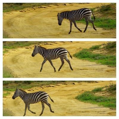 Zebra in Bewegung