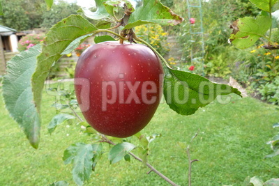 Saftiger Apfel