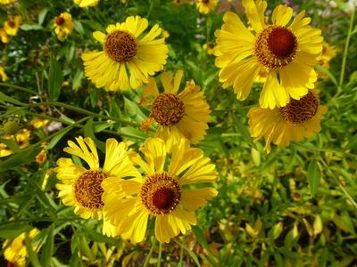 Gelb-braune Blüten