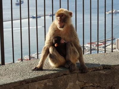 Affenduo auf Gibraltar