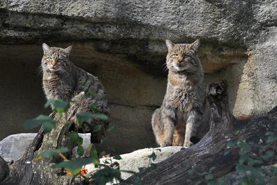 Europäisches Wildkatzenpaar