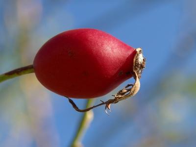 Rosenfrucht