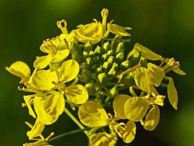 Blüte der Senfpflanze