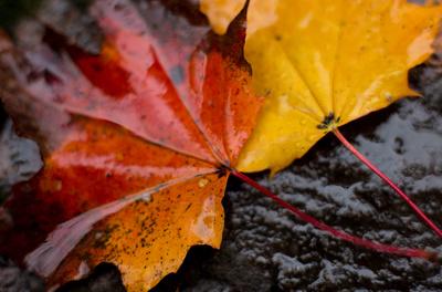 Herbst gold-rot-schwarz