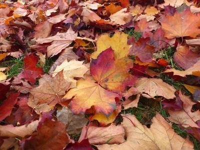 Blätter auf Boden, weinrot