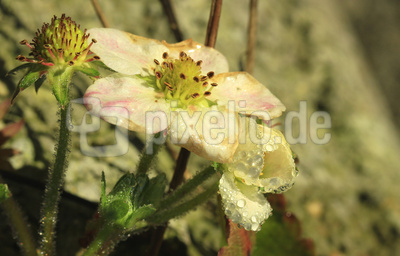 * ws * erdbeerblüte im november