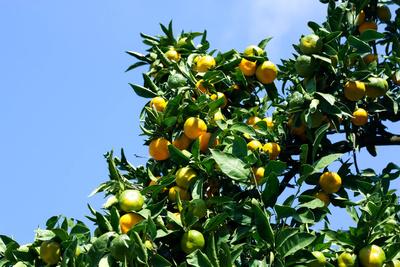 Unreife Mandarinen am Baum