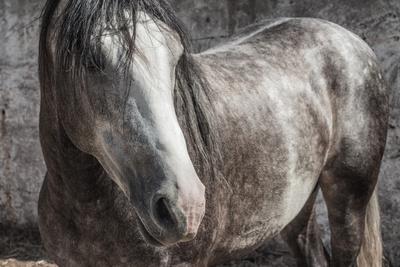 Araber Pferd