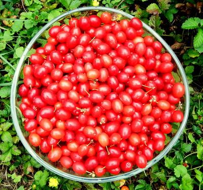 Kornelkirschen-Ernte