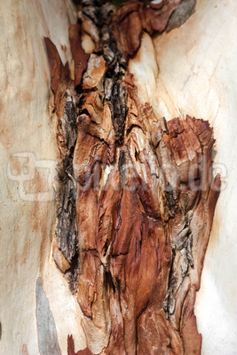 Rinde von Eucalyptusbaum