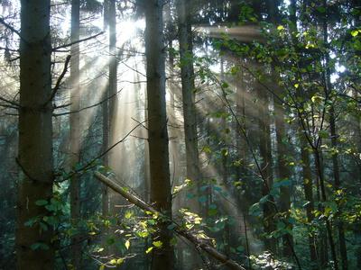 Morgenstimmung im Wald 1