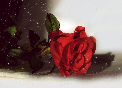 Rose 124