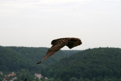 fliegender Uhu