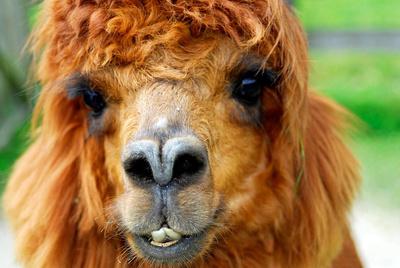 Lama ; sehr fotogen
