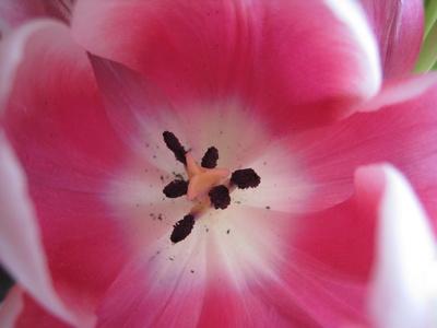 Tulpenblüte mit Staubblättern und Narbe Nahaufnahme