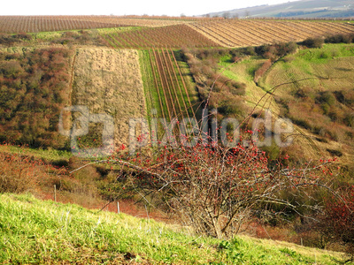 Blick über Rheinhessische Weinberge im Winter