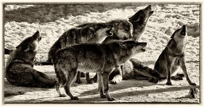 das heulen der wölfe hdr1