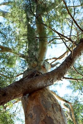 Eucalyptusbaumkrone