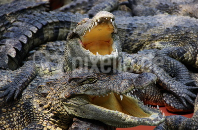 Krokodil-Kuscheln