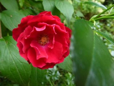 Zarte Blüte in Rot