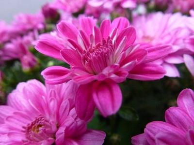 Rosa-weiße Blüten
