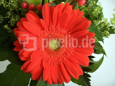 Rote Gerbera-Blüte