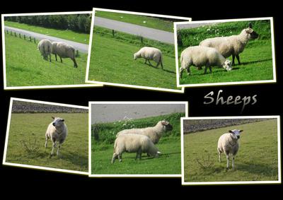 Schafe - Collage