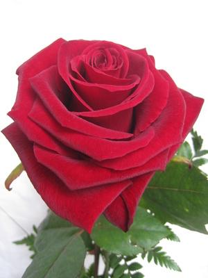 Rose die Königin der Blumen