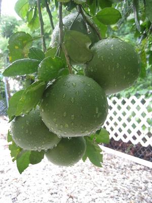 unreife,grüne Florida Orangen am Strauch mit Regentropfen